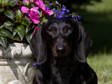 Smooth-Haired Mini Dachshund, Portrait Photographic Print by Lynn M. Stone