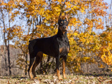 Black Doberman Photographic Print by Lynn M. Stone