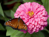 Queen Butterfly on Zinnia Photographic Print by Lynn M. Stone