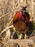 Wyandotte (Breed) Rooster Photographic Print by Lynn M. Stone