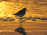 Shorebird at Sunset Photographie par Lynn M. Stone