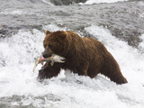 Grizzly Bear (Aka Alaska Brown Bear) with Salmon Photographic Print by Lynn M. Stone