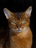 Abyssinian Cat, Portrait Photographic Print by Lynn M. Stone