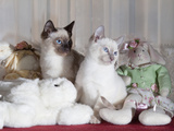 Siamese Cat Kittens W/Stuffed Animals Photographie par Lynn M. Stone