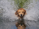 Golden Retriever Water Entry Photographic Print by Lynn M. Stone