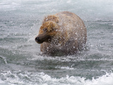Grizzly Bear Shaking Off Water, Alaska Photographic Print by Lynn M. Stone