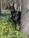 Black Doberman Peering from Behind Tree Photographic Print by Lynn M. Stone