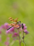 Dragonfly in Meadow Photographic Print by Lynn M. Stone