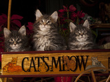 Maine Coon Cat Kittens in Wagon Photographic Print by Lynn M. Stone