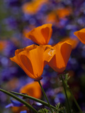 California Poppies, California Photographic Print by Lynn M. Stone