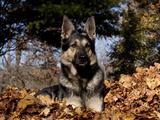 German Shepherd Dog Lying in Leaves Photographic Print by Lynn M. Stone