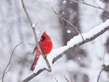 Cardinal in Snow Reproduction photographique par Lynn M. Stone