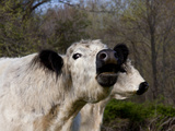 White Galloway Cow Mooing Photographic Print by Lynn M. Stone