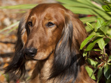 Dachhund Portrait Photographic Print by Lynn M. Stone