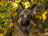 German Shepherd, Portrait Photographic Print by Lynn M. Stone