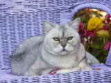 American Shorthair Cat on Lavender Wicker Photographic Print by Lynn M. Stone