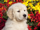 Golden Retriever Puppy Photographic Print by Lynn M. Stone