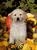 Golden Retriever Puppy in Gourds Photographic Print by Lynn M. Stone