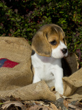 Beagle Hound Puppy Photographic Print by Lynn M. Stone