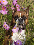 Boxer in Cosmos Photographic Print by Lynn M. Stone