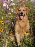 Golden Retriever in Cosmos Flowers Photographic Print by Lynn M. Stone