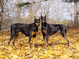 Pair of Black Dobermans Photographic Print by Lynn M. Stone