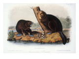 Audubon: Beaver, 1846 Prints by John James Audubon