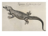 Iguana, 1585 Art by John White
