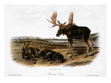 Moose Deer (Cervus Alces) Premium Giclee Print by John James Audubon