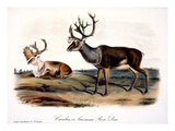 Caribou (Rangifer Caribou) Posters by John James Audubon