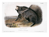 Collared Peccary, 1846 Prints by John James Audubon