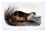 Canada Otter, 1846 Art by John James Audubon