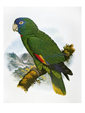 Red-Necked Amazon Parrot Giclee Print by William T. Cooper