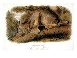 Canada Lynx, 1846 Prints by John James Audubon