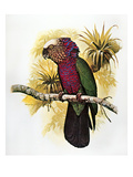 Hawk-Headed Parrot Giclee Print by William T. Cooper