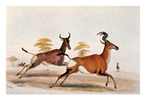 Sassaby and Hartebeest Giclee Print by William Cornwallis Harris