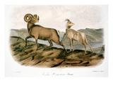 Rocky Mountain Sheep, 1846 Print by John James Audubon