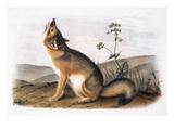 Kit Fox (Vulpes Velox) Art by John James Audubon