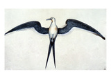 White: Frigate Bird Posters by John White