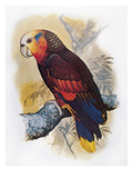 St Vincent Amazon Parrot Giclee Print by William T. Cooper