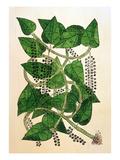 Black Pepper Plant, 1578 Prints