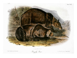 Grizzly Bear (Ursus Ferox) Prints by John James Audubon