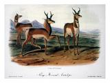 Audubon: Antelope, 1846 Poster by John James Audubon