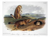 Audubon: Prairie Dog, 1844 Posters by John James Audubon