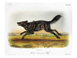 Black American Wolf Art by John James Audubon