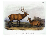 American Elk, 1846 Prints by John James Audubon