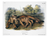 Audubon: The Cougar Giclee Print by John James Audubon