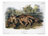 Audubon: The Cougar Premium Giclee Print by John James Audubon
