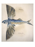 Flying-Fish, 1585 Art by John White
