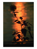 Flower at Sunset Giclee Print